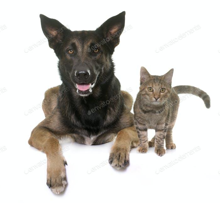 kitten and malinois