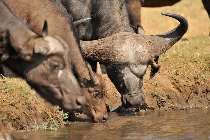 african cape buffalo, Africa