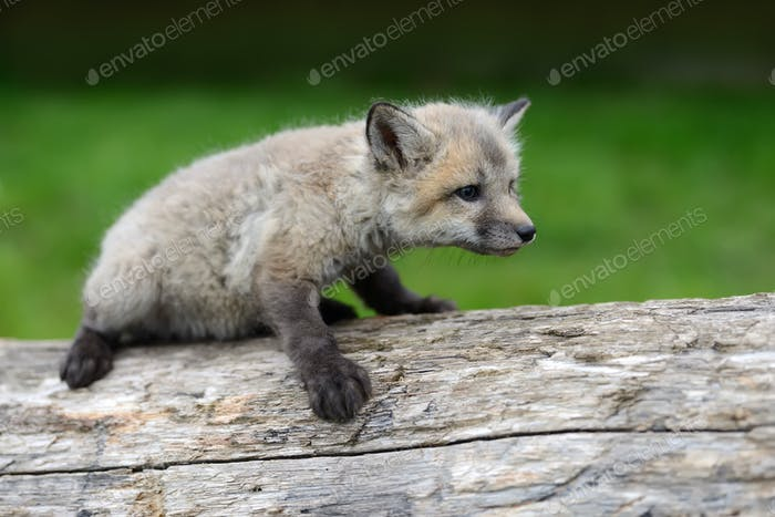 Fox cub in grass