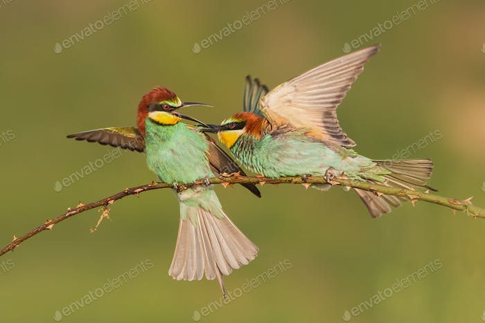 Two european bee-eaters, merops apisater, fighting on a perch