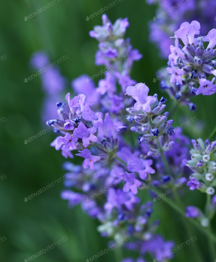Flowering Purple Lavender