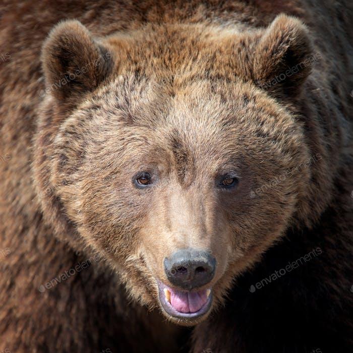 Big brown bear portrait in forest