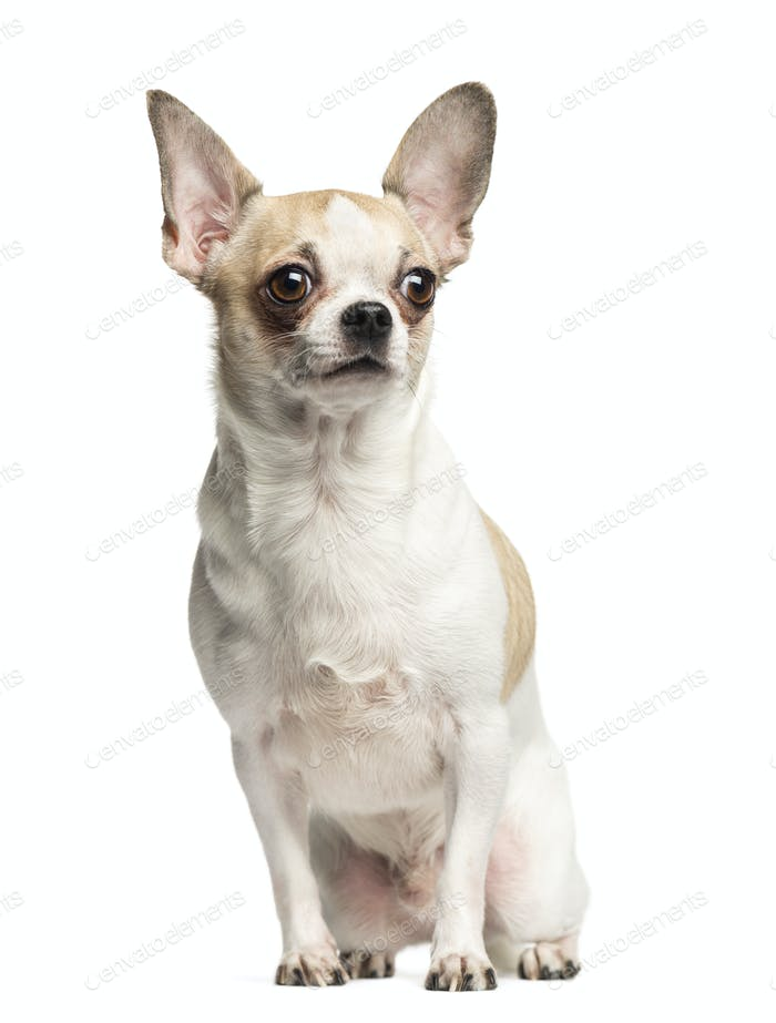 Chihuahua (2 years old) sitting and looking away, isolated on white