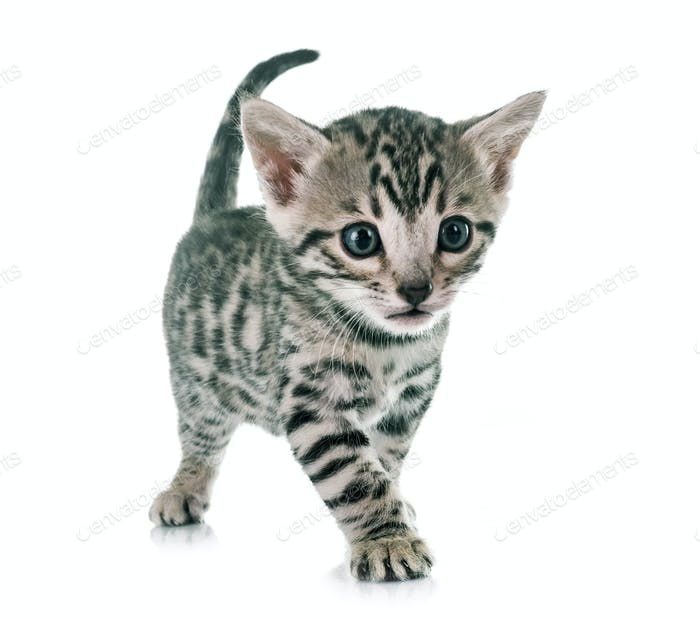 bengal kitten in studio