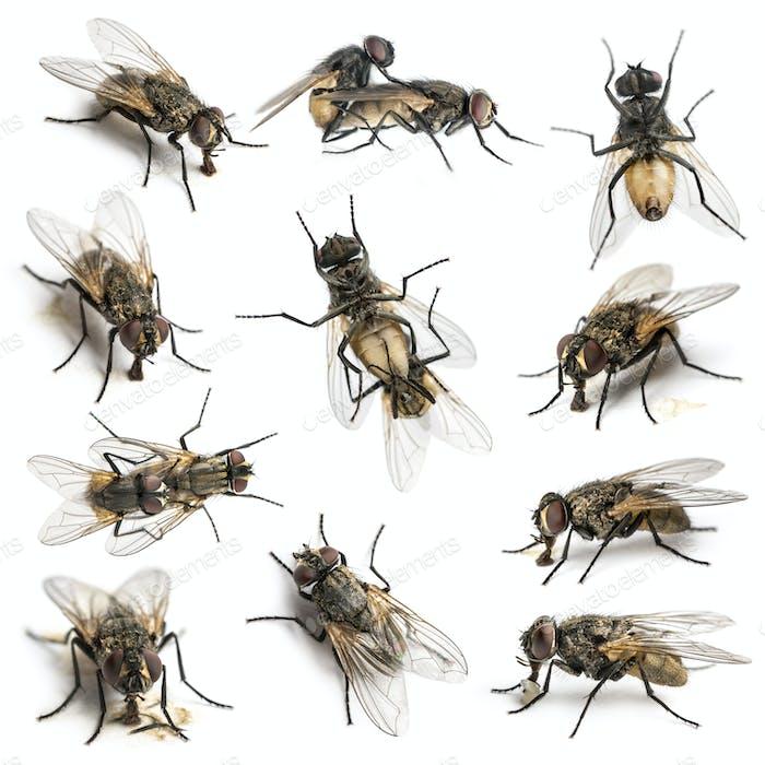 Set of 11 House flies