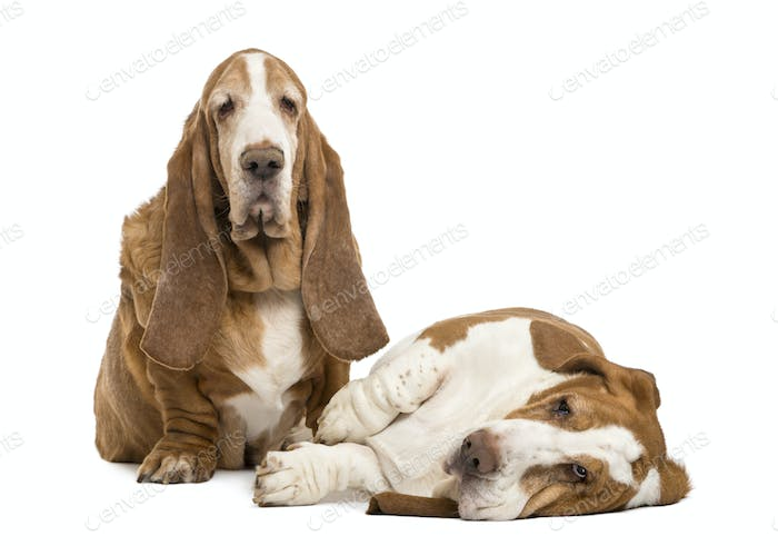 Two Basset Hounds sitting and lying, isolated on white