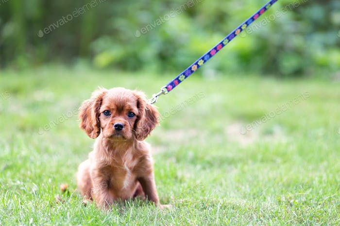 Cute puppy on the leash