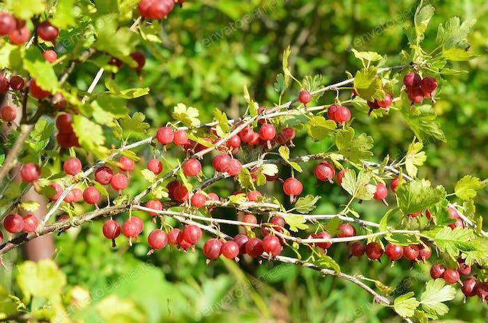 Red gooseberries in garden