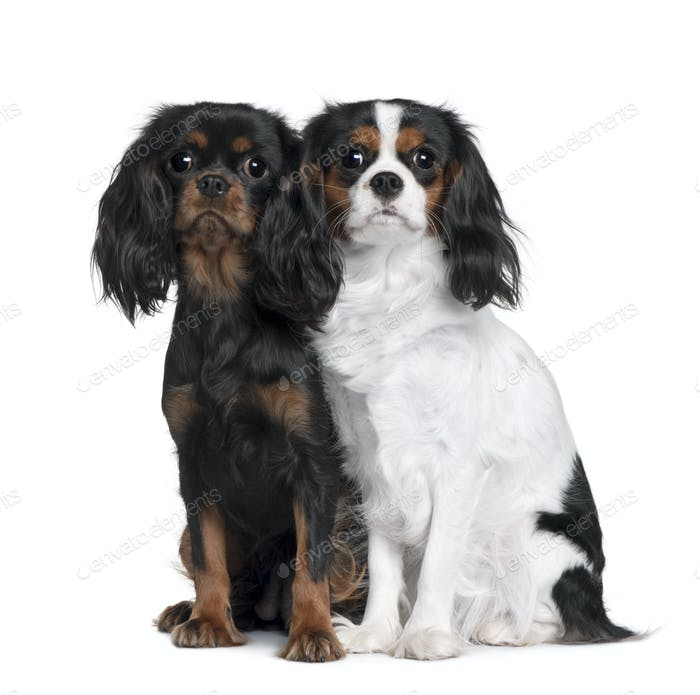 Two Cavalier King Charles Spaniels, 8 Months and 9 Month old, sitting in front of white background