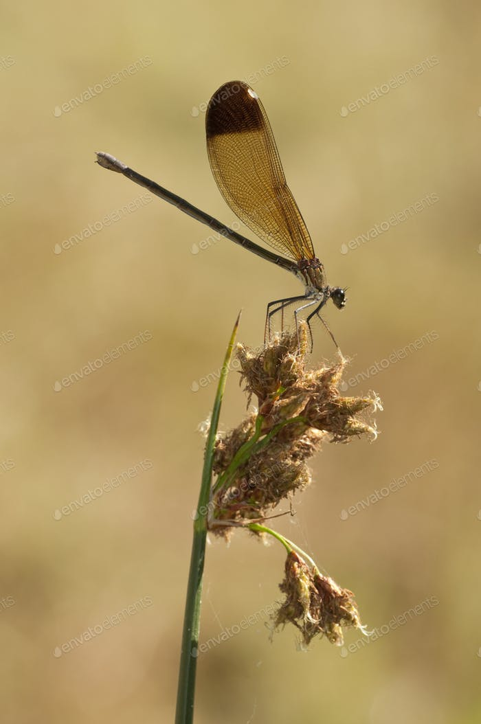 Damselfly Perched on Spike