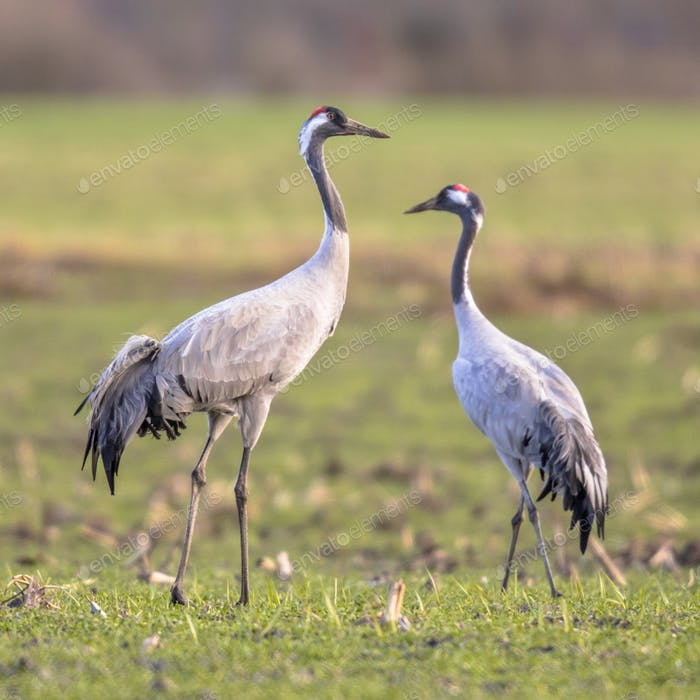 Two cranes in green grass field
