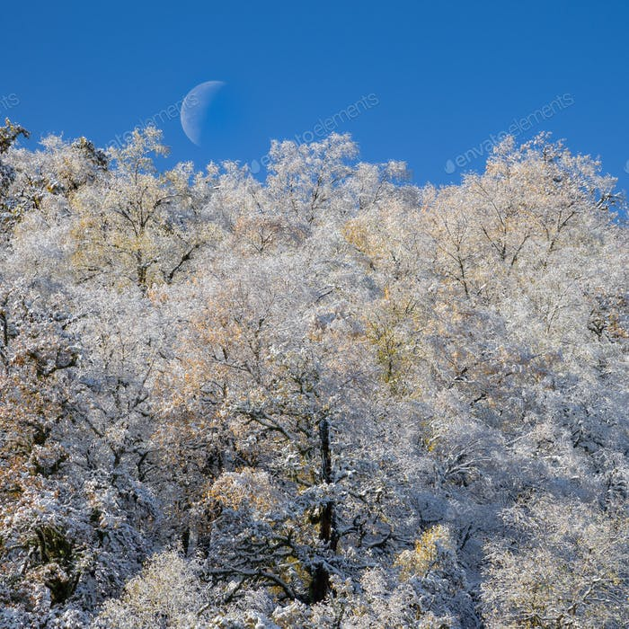 Moon over the white snowy trees