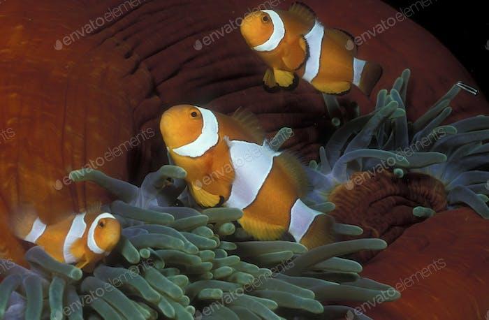 Three Clownfish in an anemone