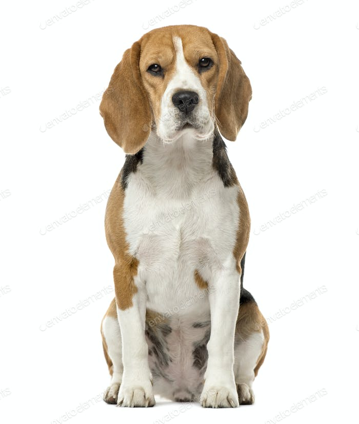 Beagle sitting, 16 months old , isolated on white