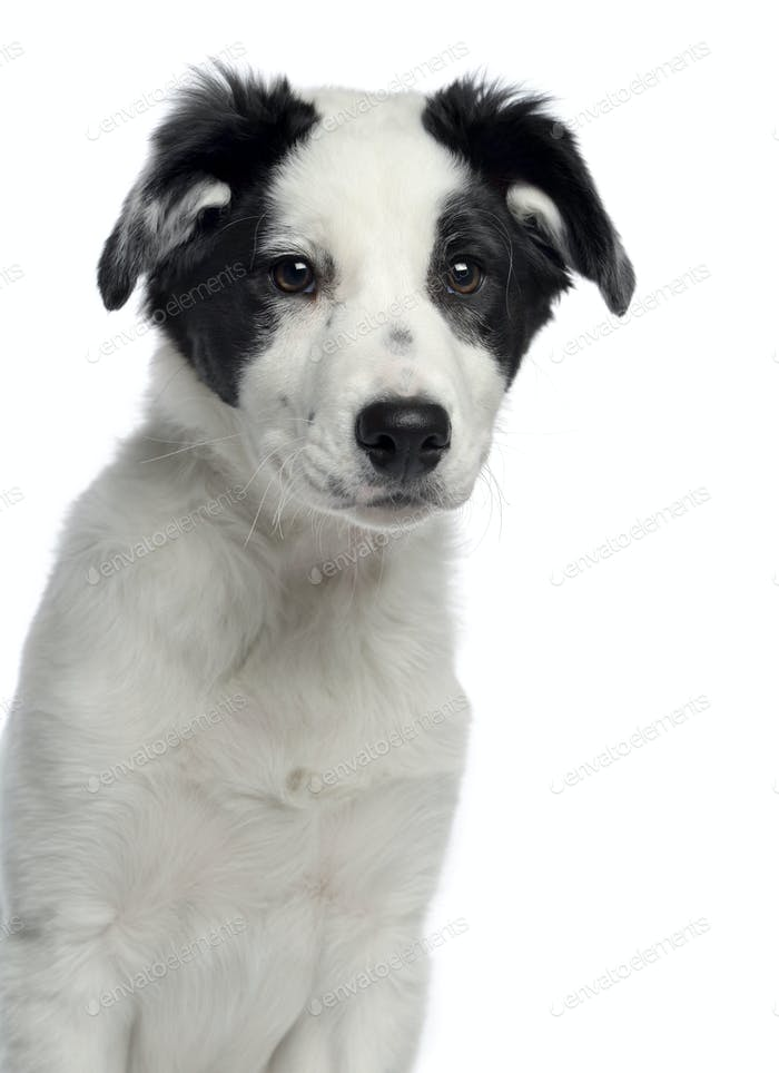 Close-up of a Border Collie, 3 months old, facing, isolated on white