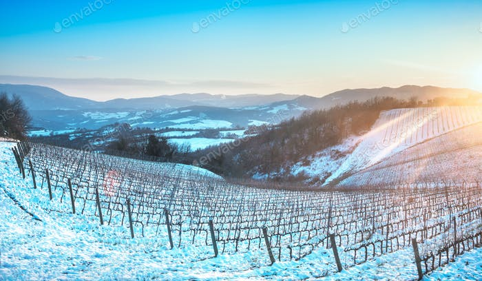 Vineyards rows covered by snow in winter at sunset. Chianti, Sie