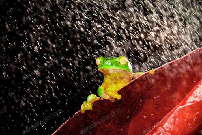 Little tree frog sitting on red leaf in rain