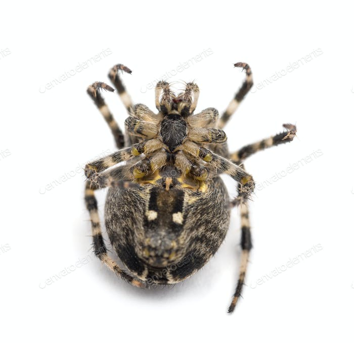 European garden spider, Araneus diadematus, lying on its back and curled up against white background