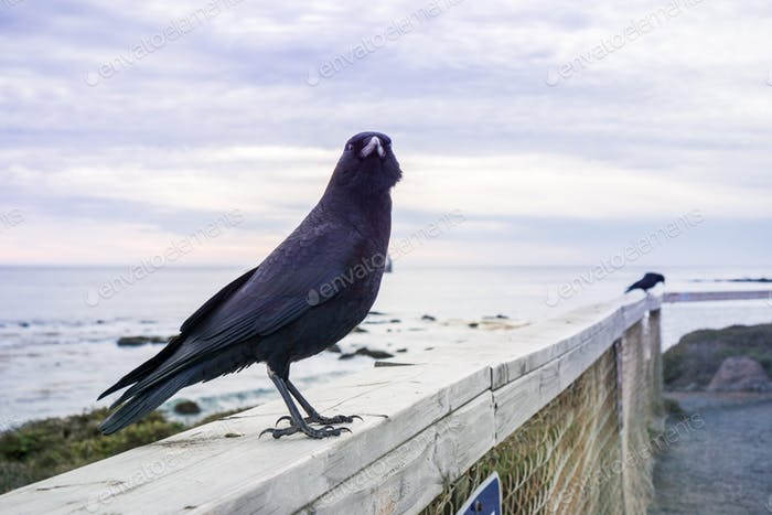 Close up of American Crow