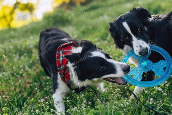 две собаки играют с игрушкой вместе на природе