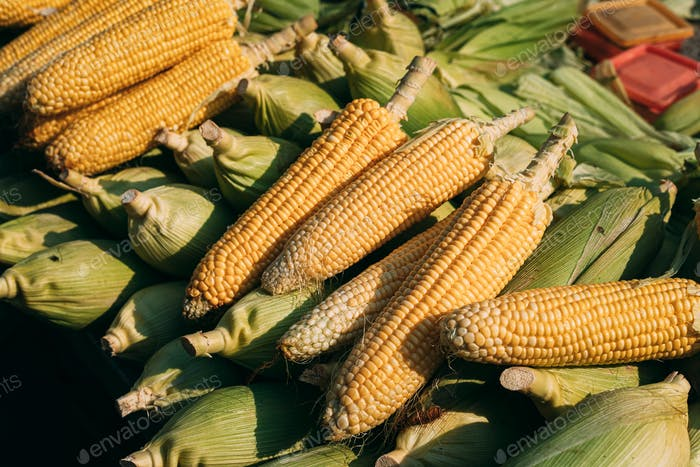 Fresh Raw Yellow Maize Corns In Heap On Local Agricultural Market. Maize Corn Harvest