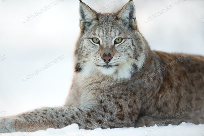 Lynx rests in the snow