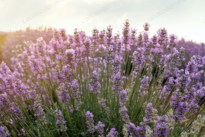 Lavender field close up