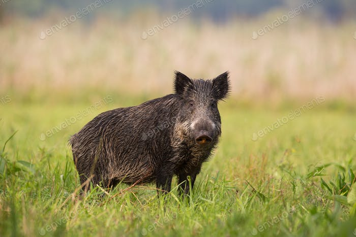 Wild boar standing on the grass in the summer with blurred background