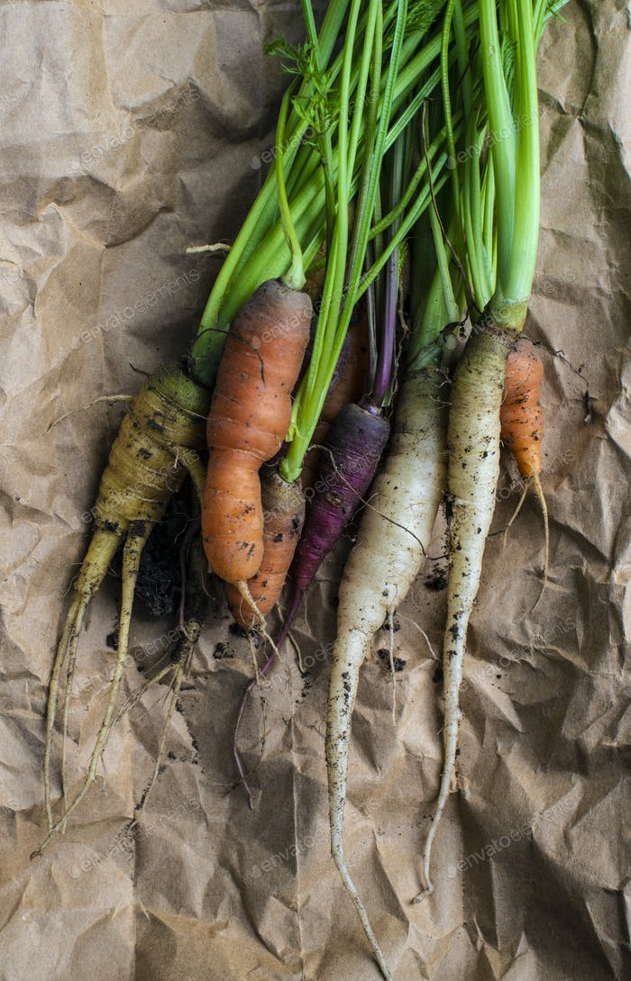Carrots from small organic farm. Woman Multi colored carrots in