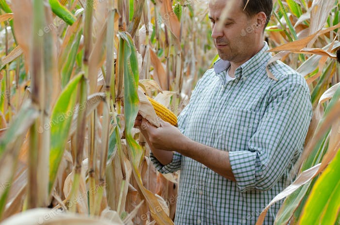 Middle aged caucasian farm worker inspecting corn field summer day