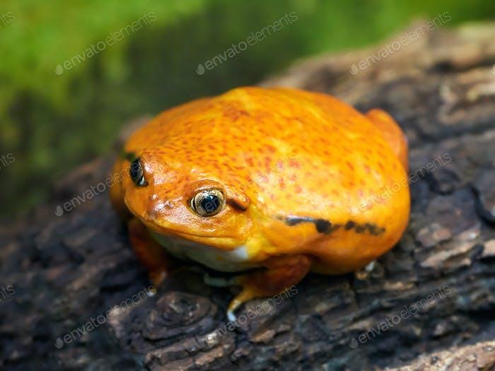 Sambava tomato frog (Dyscophus guineti)