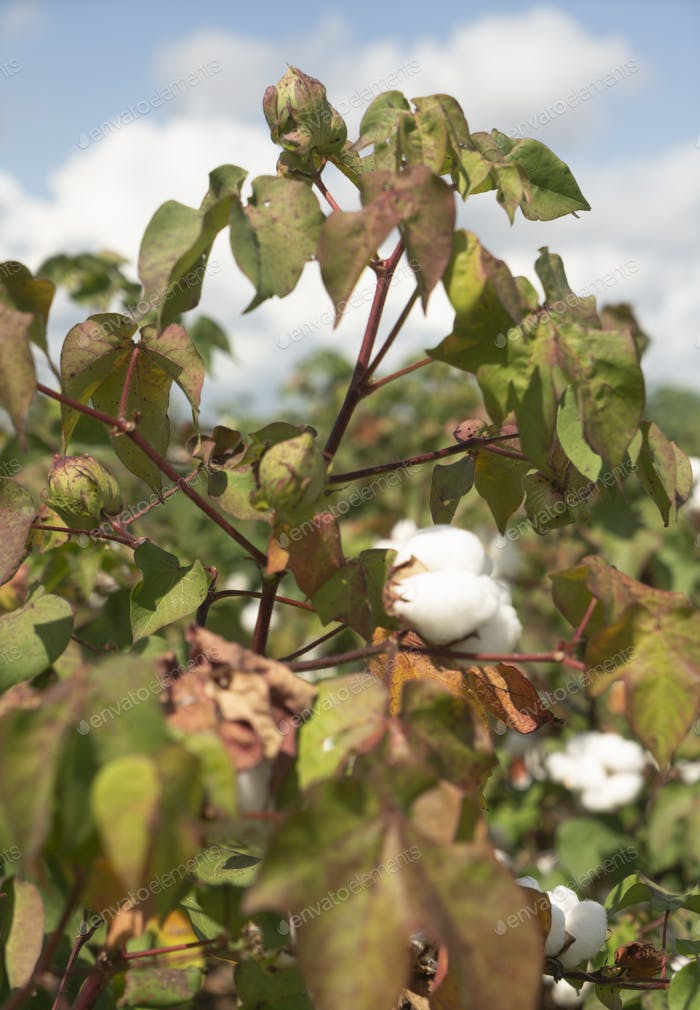 Cotton Plants Grow High Deep South Agriculture USA