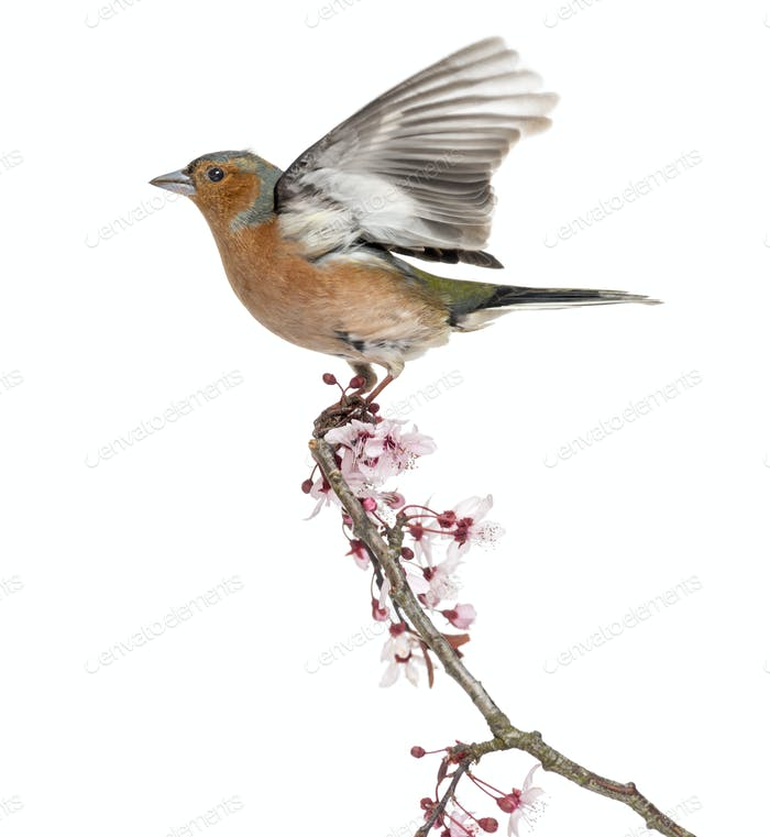 Common Chaffinch flying away from a  branch, isolated on white - Fringilla coelebs