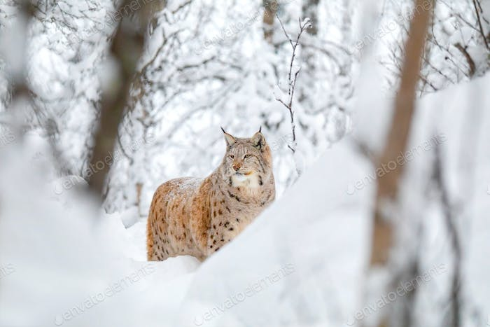 Large lynx cat walks in the cold and magnificent winter forest