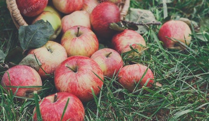 Scattered apples harvest on grass in garden