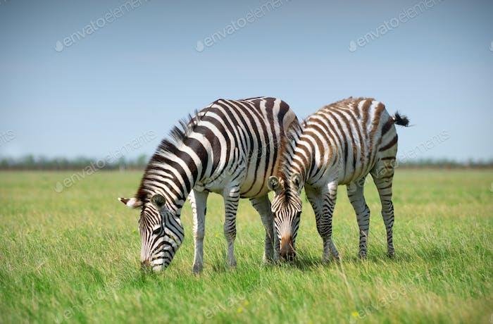 Two Zebras grazing on grass