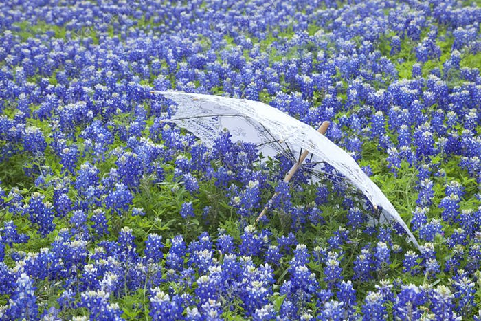 White Parasol in a Field of Texas Bluebonnets