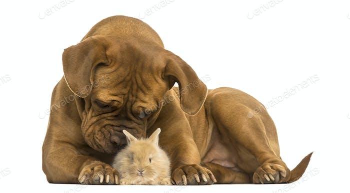 Dogue de Bordeaux smelling a Rex rabbit, isolated on white