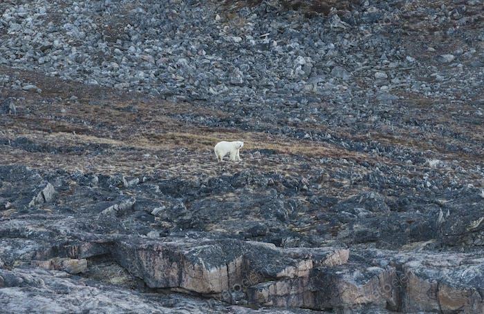 Eisbär in der Hohen Arktis