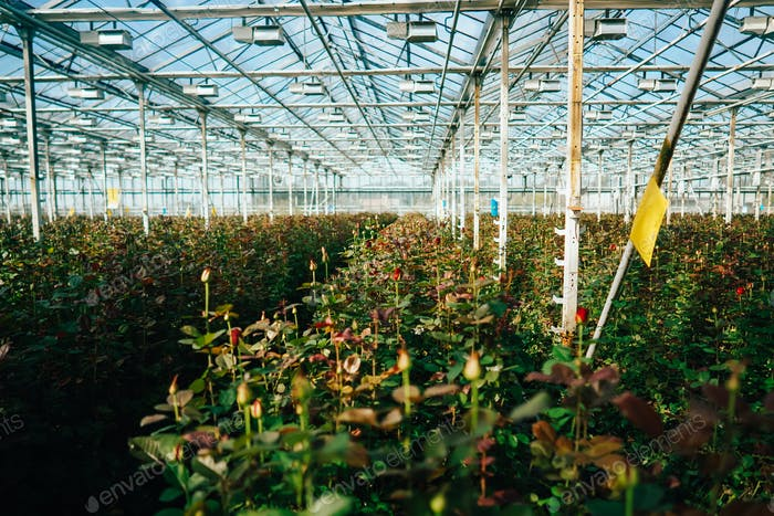 Greenhouse roses growing under daylight.