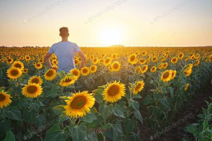 Man in meadow of sunflower at sunset.