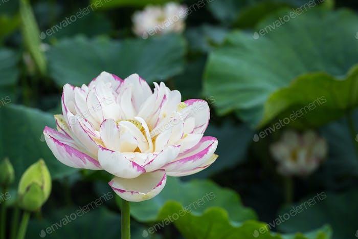 beautiful buddha lotus flower closeup