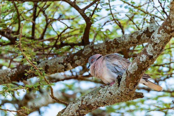 Wild African mourning dove or Streptopelia decipiens