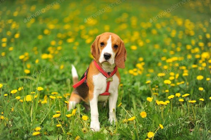 Hund Porträt hinterleuchtet Hintergrund. Beagle mit Zunge im Gras während des Sonnenuntergangs auf Feldern