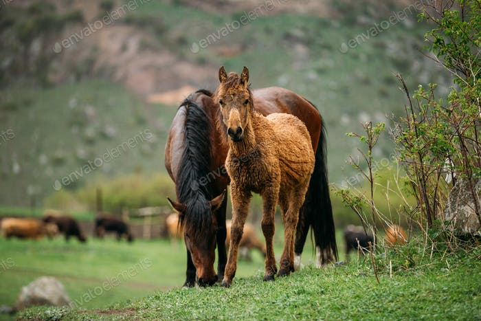 Adult Brown Horse And Foal Young Horse Grazing On Green Mountain