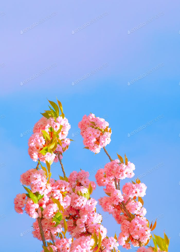 Fashion aesthetics wallpaper. Pink Flowers. Cherry blossom
