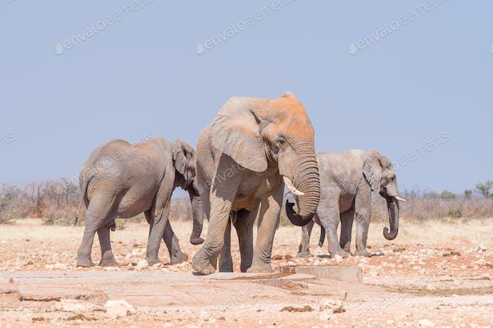 Three african elephants at the Rateldraf waterhole