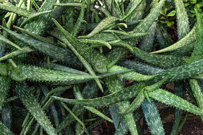 Aloe vera plant outdoor