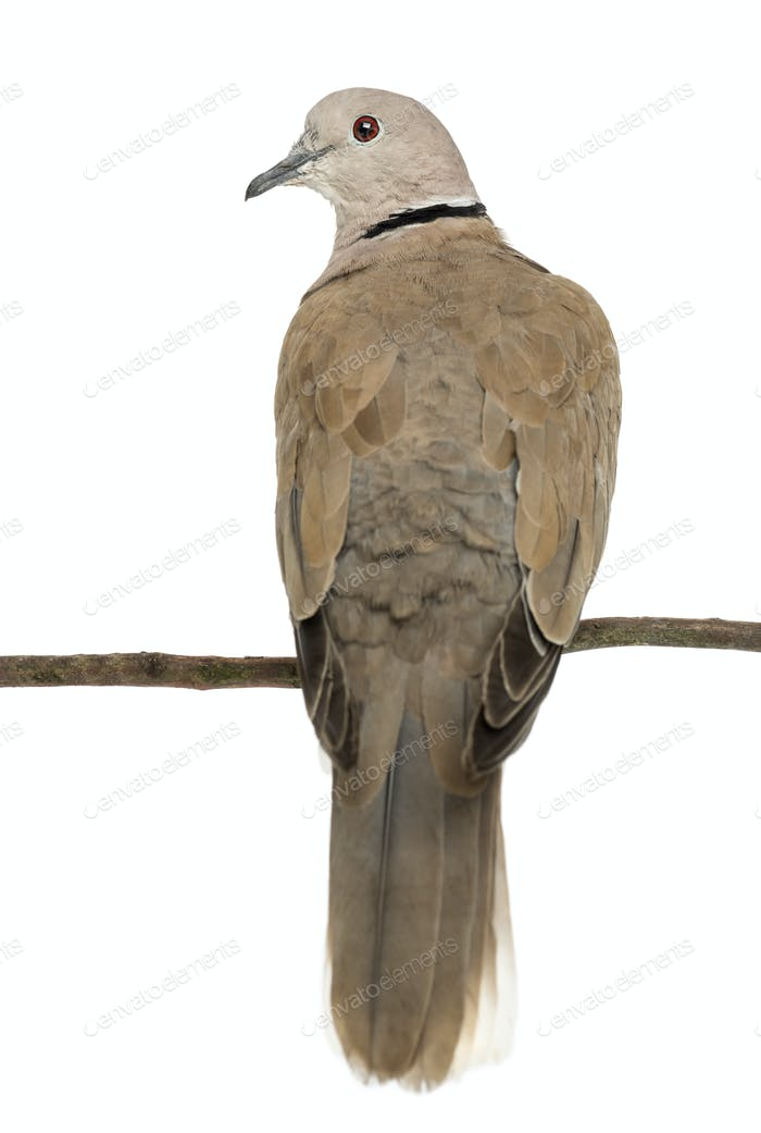 Rear view of an Eurasian Collared Dove