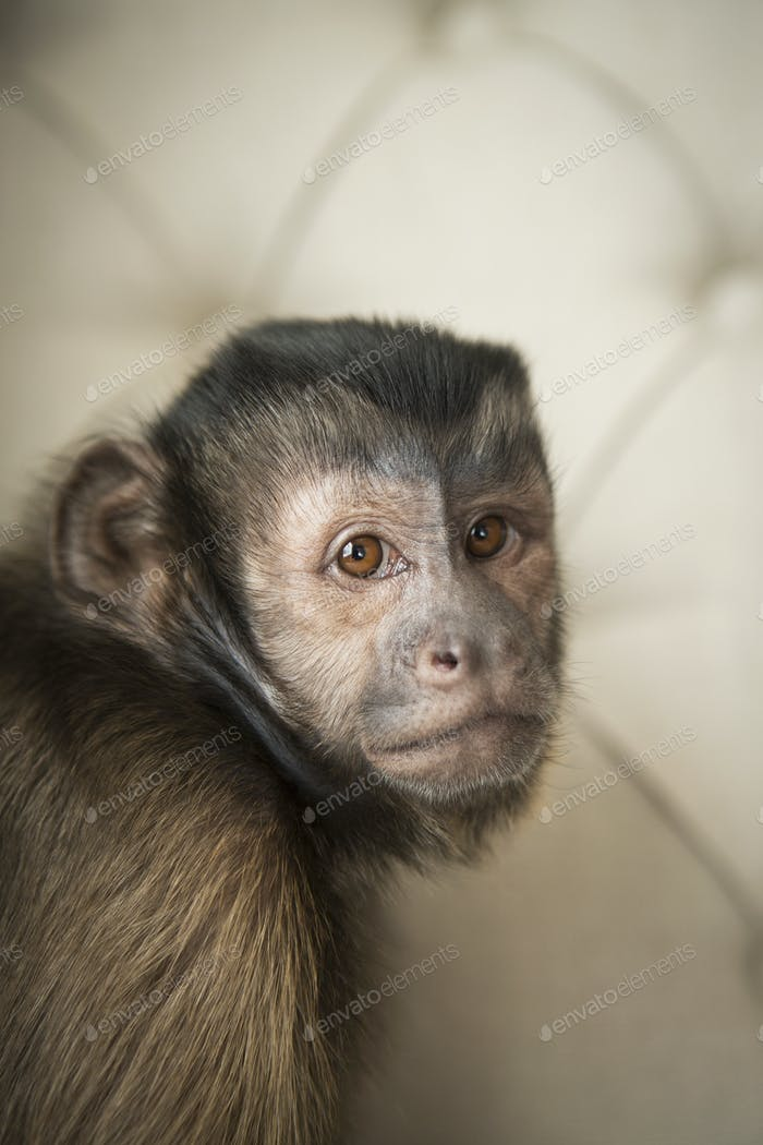 A capuchin monkey seated on a buttonbacked upholstered chair.